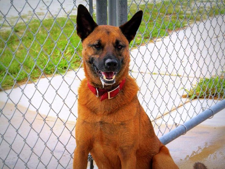13 best images about BELGIAN MALINOIS - US LOST DOG ...