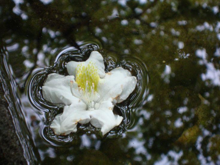 lie down  #nature #flower #white #water