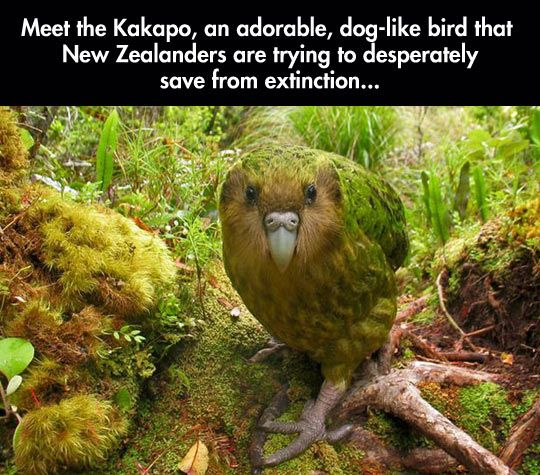 This is the Kakapo, an adorable, dog-like bird that New Zealanders are desperately trying to save from extinction. It is the world's only flightless parrot, but due to the introduction of non-native predators such as cats, rats, and ferrets, to its habitat, it was almost wiped out. It has whiskers around its beak that it uses for navigation, along with a highly developed sense of smell.