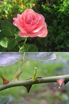 Разные способы размножения роз. Нетрадиционное Размножение Роз