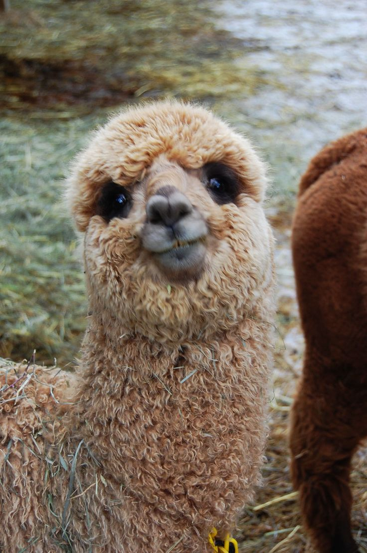 Fuzzy llamas! Make sure to come along to Leopardstown ...