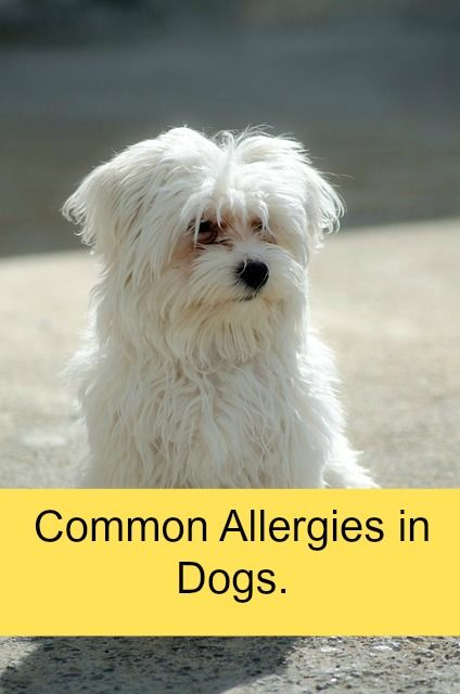 Natural treatments for dog allergies. Read how some conventional dog allergy therapies can be dangerous.