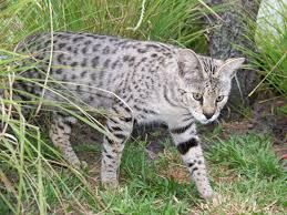 Best 7 Tips Before Buying Savannah Cat That You Should Read This Year