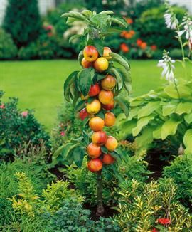 Collonade apple trees are the perfect fit for the patio container garden, urban farmer or renter.