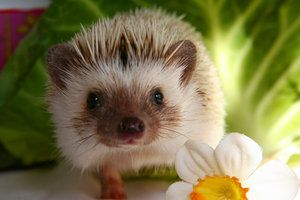 There is possibly no more dramatic physical expression of a pet's growing trust and affection than a hedgehog's. At first, they are so prickly that gloves are required to pick them up. As time passes and familiarity grows, the prickliness and timidity gives way to boldness, playfulness and touching gestures of love. The hedgehog is truly a remarkable and unique pet and, like any pet, deserves all your love and attention.