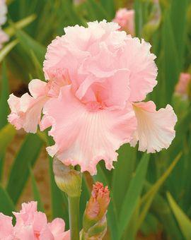 June Krausse | Tall Bearded Iris  Schreiner's Iris Gardens