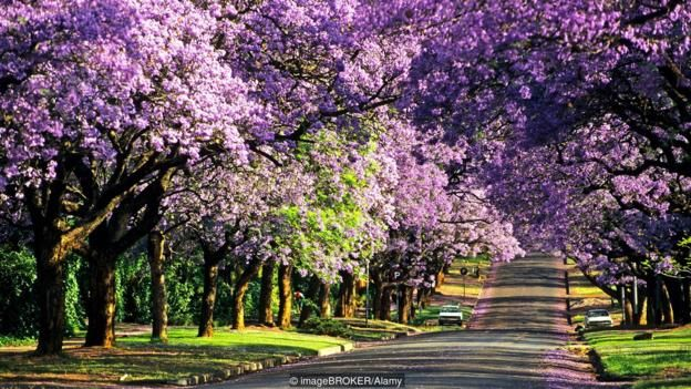 Living in Johannesburg South Africa  | Pretoria is well known for its purple-blue jacaranda trees