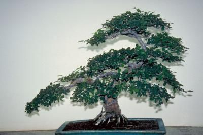 Watering a bonsai tree is said to be one of the hardest skills to learn. Here are some tips on watering a Chinese elm bonsai.