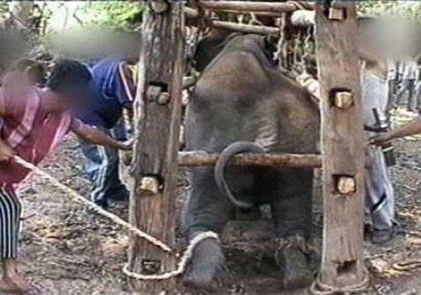 !#$phajaan-@'!?, $#!@  elephant Thailand