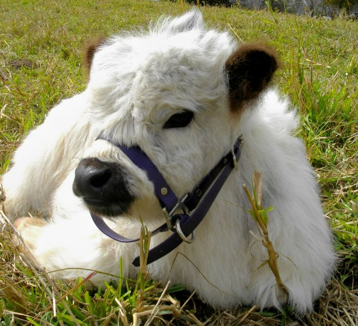 Cute Baby Calf resting in the Field on the Farm