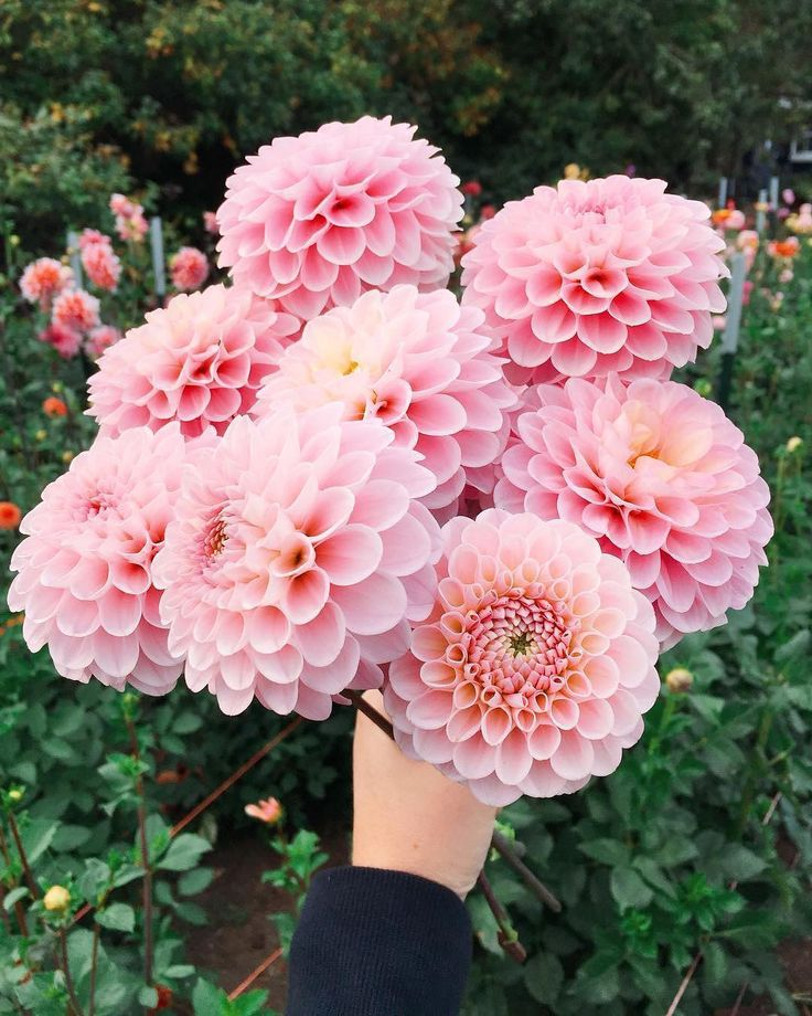 We wish we could tap our heels together three times and appear in @farmgirlsk's field of Wizard of Oz dahlias!! ✨ Follow @getgrowing.bhg for more gardening magic. #bhgflowers