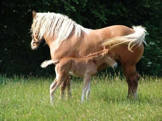 Comtois mare and foal