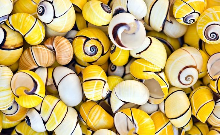 Yellow Tree Snails - Henry Domke