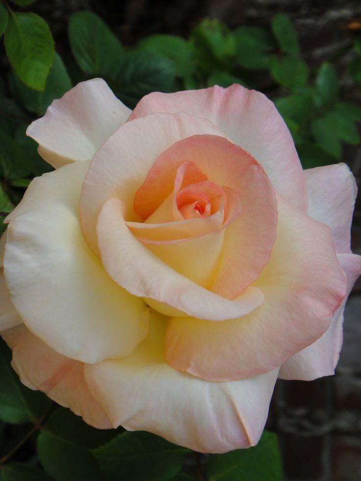 Princess Diana Rose Hybrid Tea Roses Tea Roses