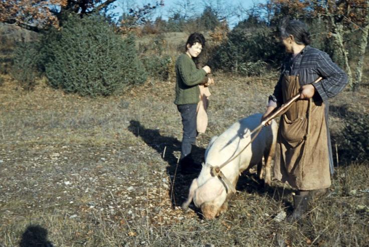Cochon chercheur de truffes. Les chiens prennent aujourd'hui le relais.