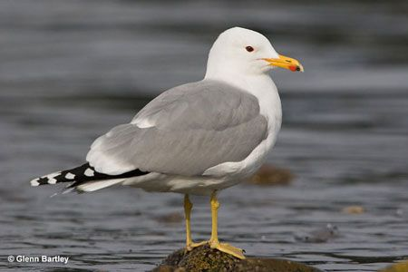 Utah: California Gull