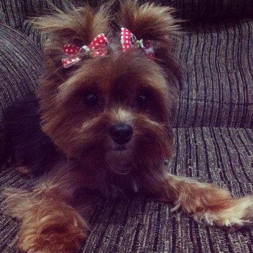 #yorkshire #dog #socute!