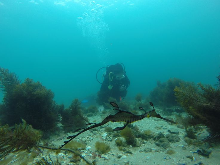 Come and dive with the Seadragon colony at the Portsea Pier