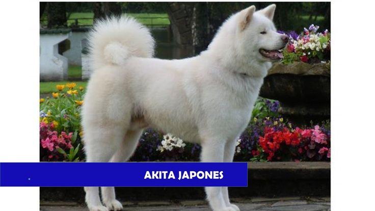 """El Akita, Akita Japonés o Akita Inu , traducido literalmente """"perro de Akita"""", es una raza de perro originaria de la prefectura de Akita, una región de la is..."""