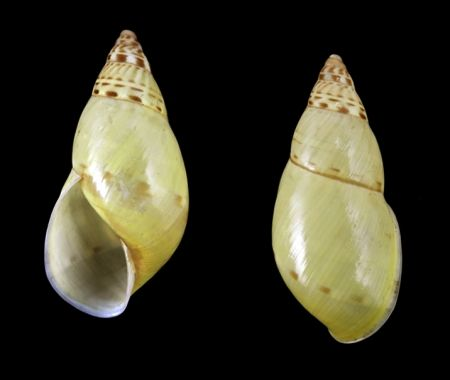 Amphidromus abbasi - rare - malacology-asia.com