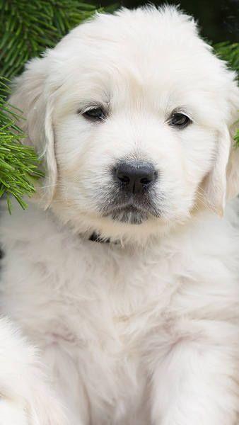 Roztomilé bílé štěně iPhone 6S Plus Tapeta