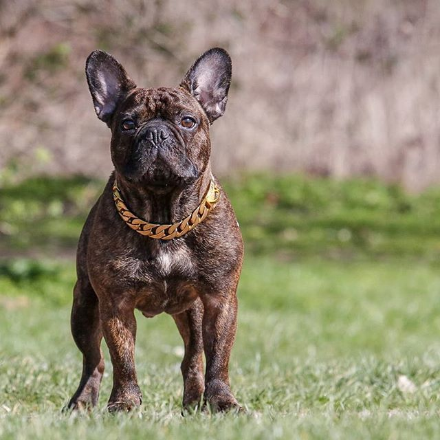 25mm Gold Chain Collar The Finest Luxury Chains In The Uk Shop Now Regaldog Co Uk Regaldoguk Streetfrenchie Sw Dog Bling Dogs Dog Accessories