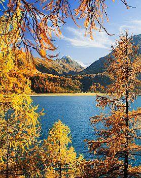 Golden Autumn: Lake Sils in the Engadin Valley in Switzerland