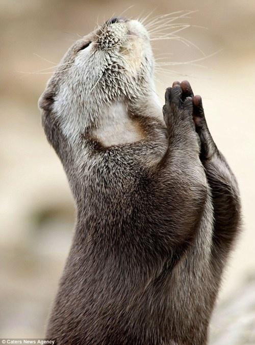Praying otter, so cute !
