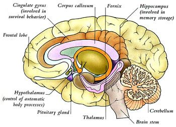 8 best brain diagrams images on pinterest brain diagram diagram internal capsule and deep gray matter yahoo image search results ccuart Choice Image
