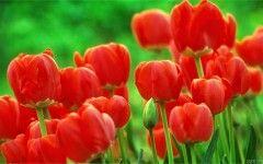 Wallpaper Bunga Tulip Merah | flo0123