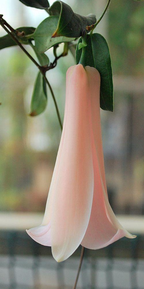 Quisiera un vestido exactamente así. Delicadesa de flor. Copihue rosado (Lapageria rosea) Pink Chilean bell flower