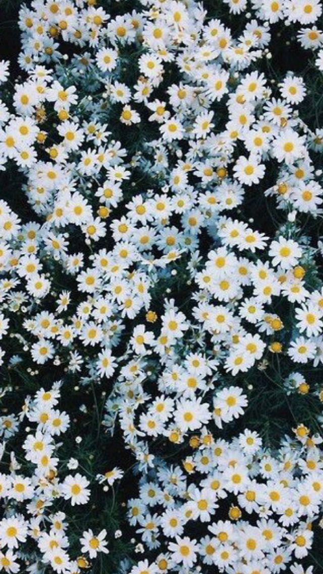 Lockscreen Flower Wallpaper Daisy Wallpaper Flower Background Iphone Background daisy flower wallpaper