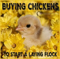 So, you've decided you'd like to raise backyard chickens for eggs and you've thought about the coop, the breeds you might like and learned how to care for the chicks, now you need to decide where to get the chickens!