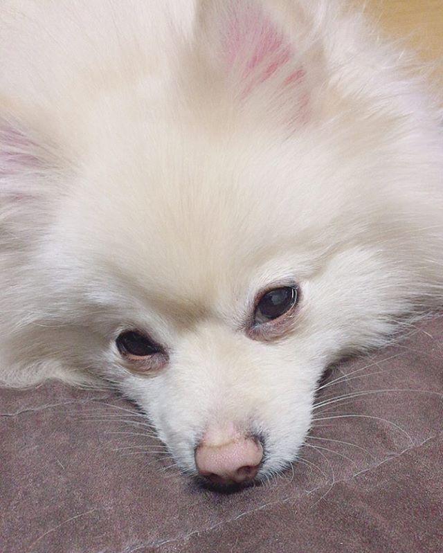 「ちょっと‼️昨日僕の変な顔の写真載せたでしょ😑」 とご立腹なルイくん🐶🤣笑 そんな睨まんくても。。。😨😱💦 ウソです。ただ眠たいだけです💤笑 ☆。.:*・゜☆。.:*・゜☆。.:*・゜ #ポメラニアン#ぽめらにあん#pome#Pomeranian #ポメックス#ダックス#ミックス犬#博美狗#포메라니안 #ポメラニアンが世界一可愛い#愛犬#癒し #ふわもこ部#親バカ#犬バカ#多頭飼い#いぬのきもち#犬なしでは生きていけません #てんかん#てんかん犬 #dogstagram#Instagramdog#pomestagram #Instadog#ig_dog#ig_photo#pic #贅沢マスク#パケわんグランプリ #目つき悪くなってますよ!笑