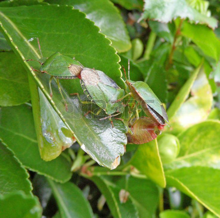 Green Shield Bug Line Up #greenshield