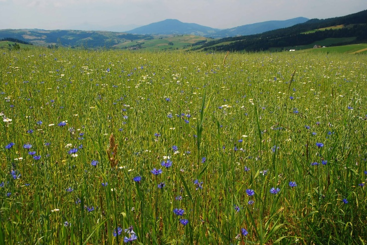 Field of cornflowers and daisies, Poland.