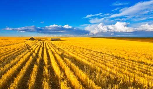 campi di grano giallo- Cerca con Google