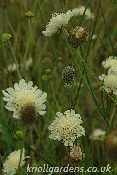 Scabiosa columbaria ochroleuca | Knoll Gardens | Ornamental Grasses and Flowering Perennials