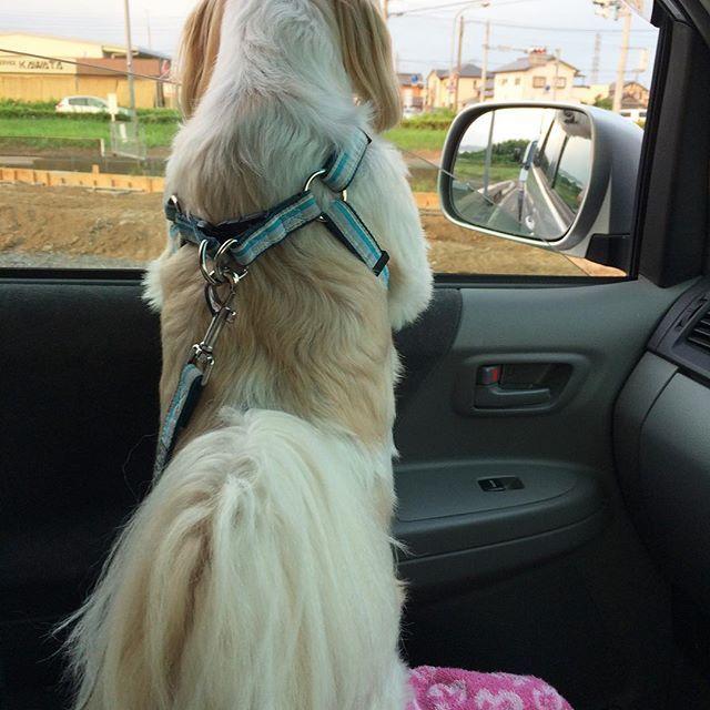 おはようございます😃 ・ ・ 今週のおちり🍑 ・ ドライブ大好き🚙💨なおちり🍑 ・ ミッキーお顔出して 気持ち良さそう✨ ・ おちりも嬉しそうでしょう😆 ・ ・ #水曜日はおちり祭り #犬#愛犬#シーズー#マルチーズ#ミックス犬#わんこ#いぬバカ部#shitzu#maltese#shitzusofInstagram#malteseofInstagram#mydogiscutest#ilovemydog#dogsofInstagram#doglover#doglife#instadog#instagood#love#lovedogs#cutedog#follow#pawsforjolie#❤️迷子犬の掲示板応援団#病気のお友達に元気玉