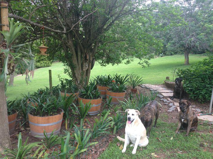 Clivia garden in progress .....