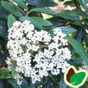 Viburnum pragense. Stedsegrøn og hårdfør.   Snehvide blomster Blomstrer i Maj Velduftende.