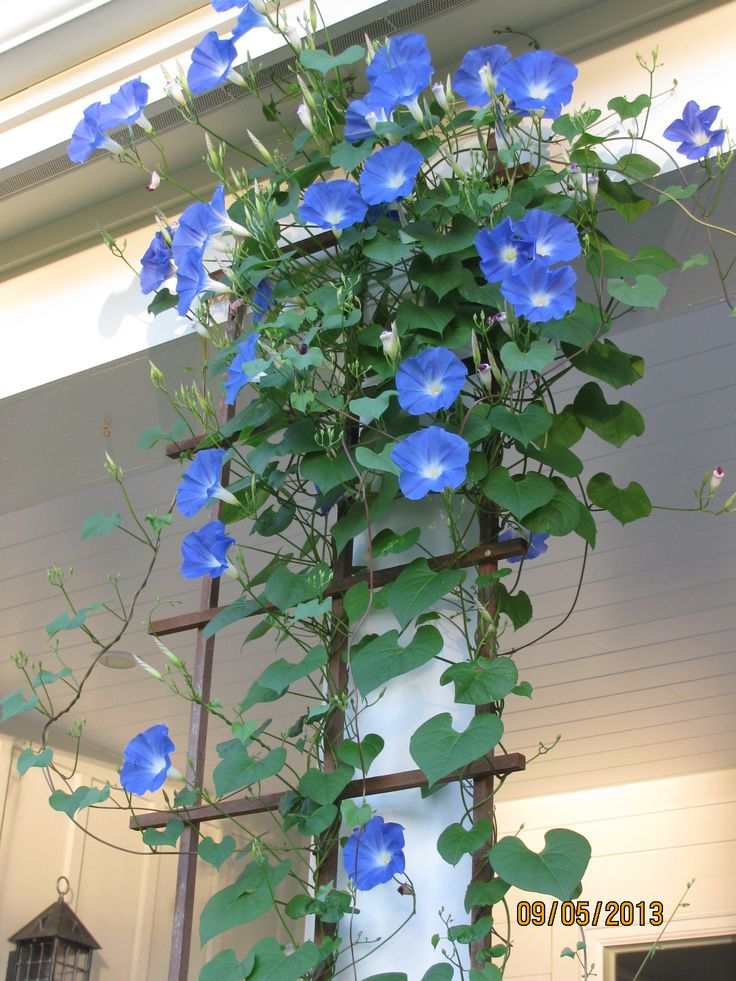 Morning glories on back porch.