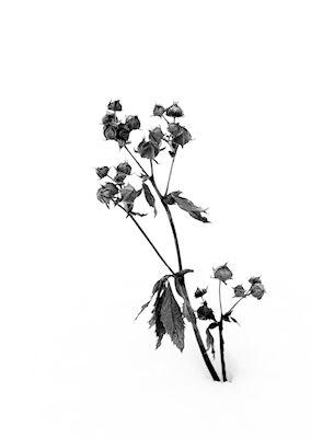 Svartvit fototavla. Vinterståndare av fotograf Torbjörn Lilja #fotokonst #fotoposter #fototavla #inredningsdetaljer #svartvitt