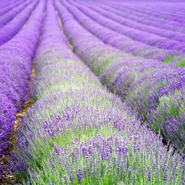 Lavender Perenials - extremely low maintenance and durable