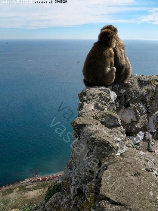 Apinat - apinat vuori meri jyrkänne istua katsella maisema merimaisema horisontti Gibraltar