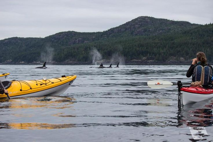 Orca pod passes kayak group on the water