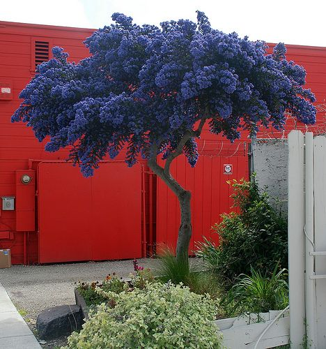 "Lovely ""Dark Star"" Ceanothus (lilac) trimmed into a tree"