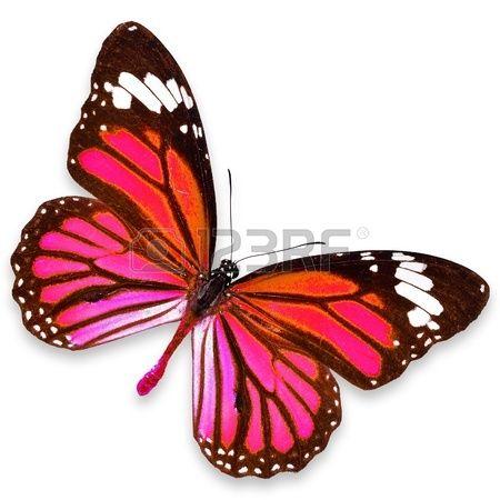 Pink Mariposa volando aisladas sobre fondo blanco photo