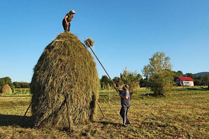 PHOTO: Making the haystacks in Breb Romania