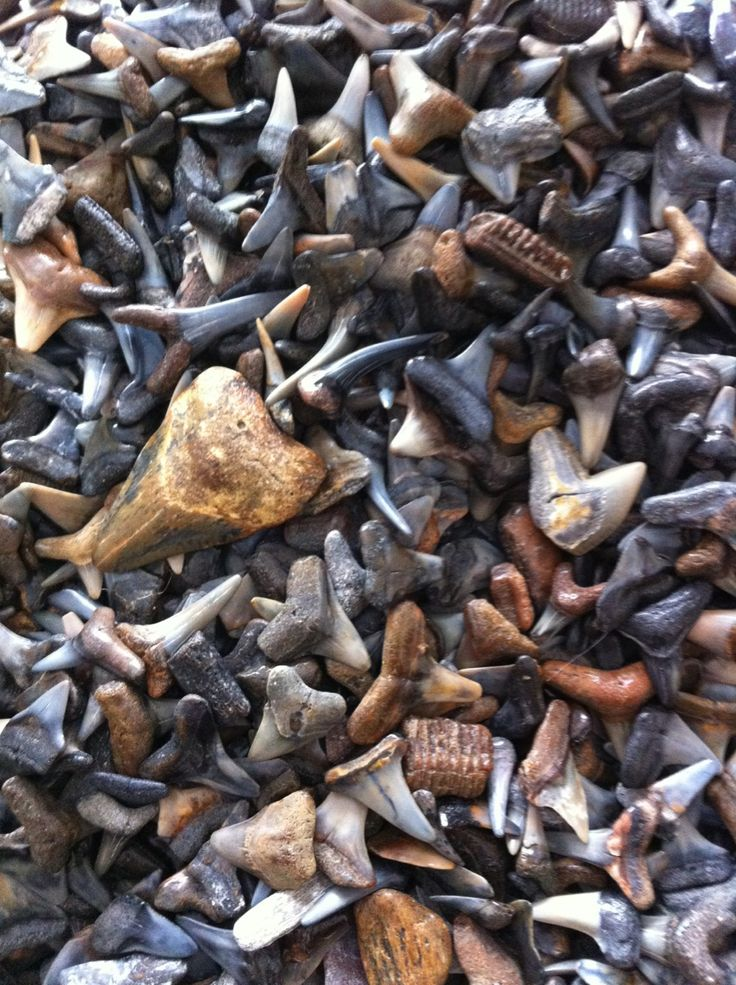 Shark teeth from Venice Beach, Florida